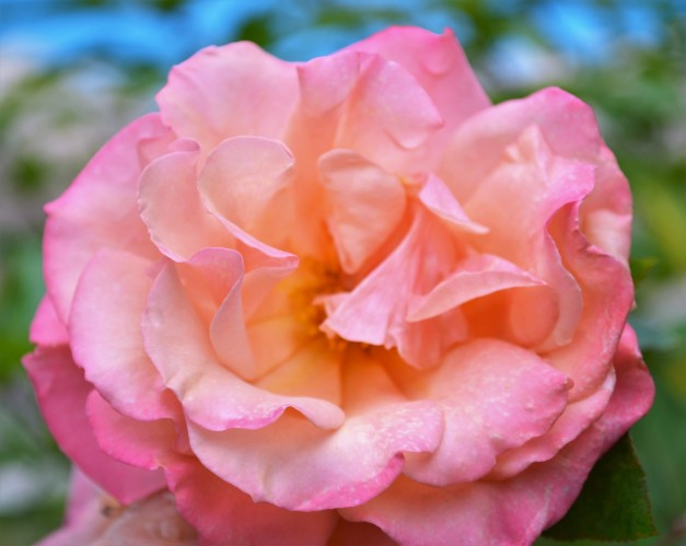 Pink rose:Issue 9.jpg