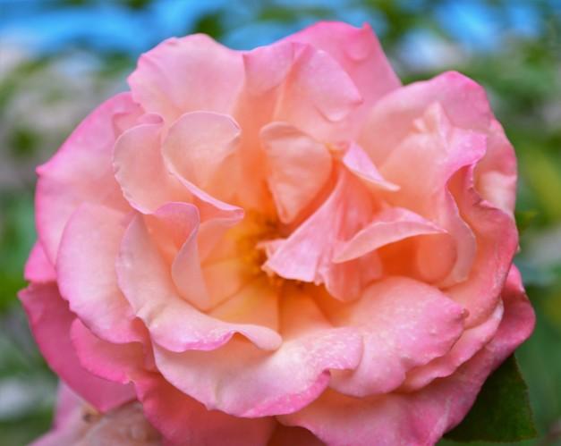Pink rose:Issue 9.jpg